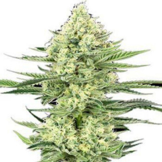 White gorilla haze white label seeds feminisee