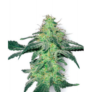 White skunk white label seeds feminisee