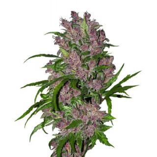 Purple bud automatic white label seeds