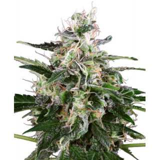 White skunk automatic white label seeds