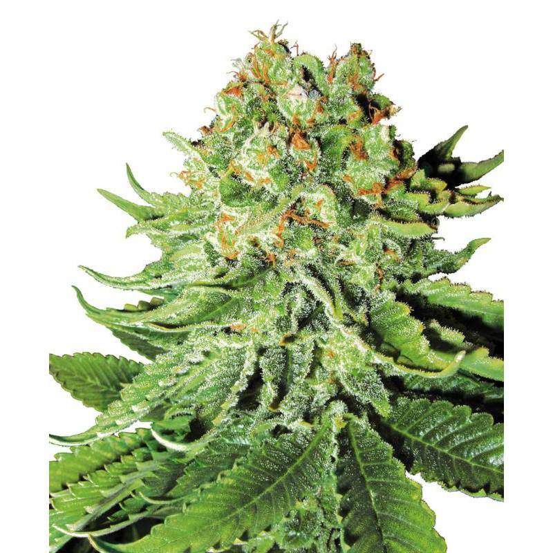 Northern lights automatic white label seeds