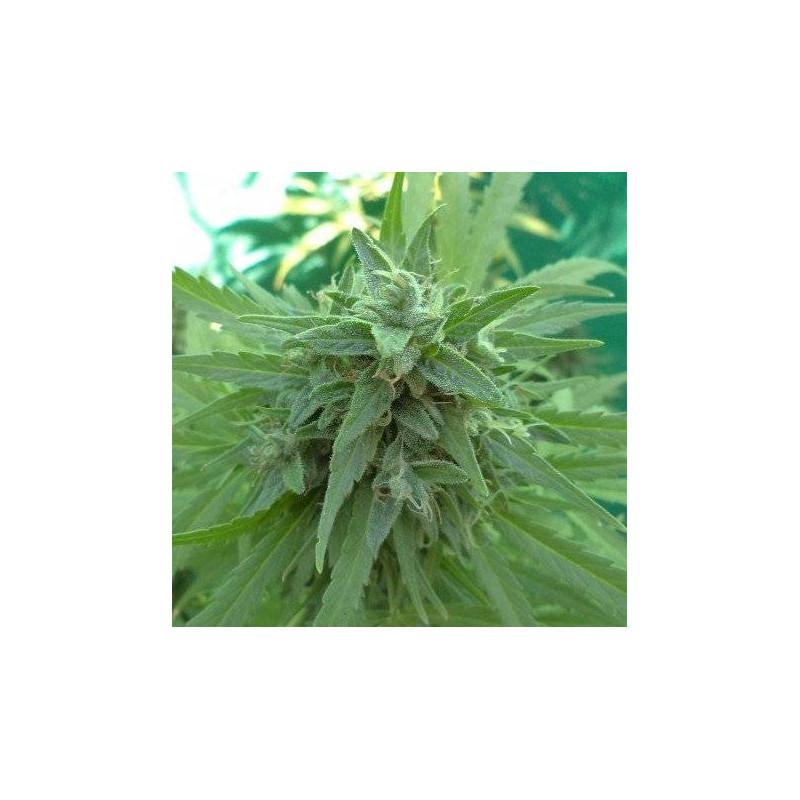 Malawi x PCK - Ace Seeds régulières