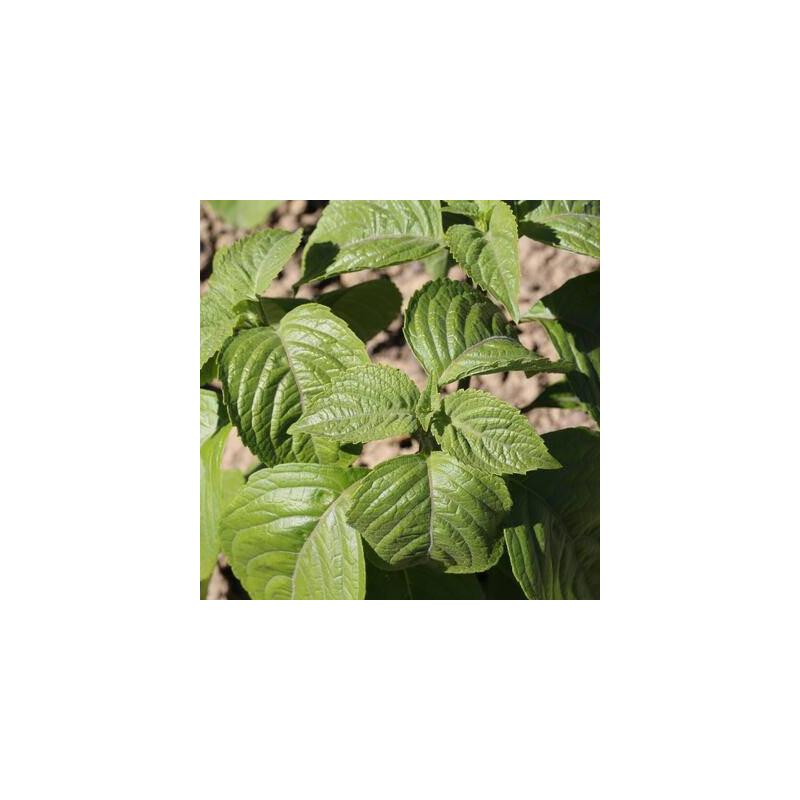 Basilic Green Pepper sachet de 100 graines- Kokopelli