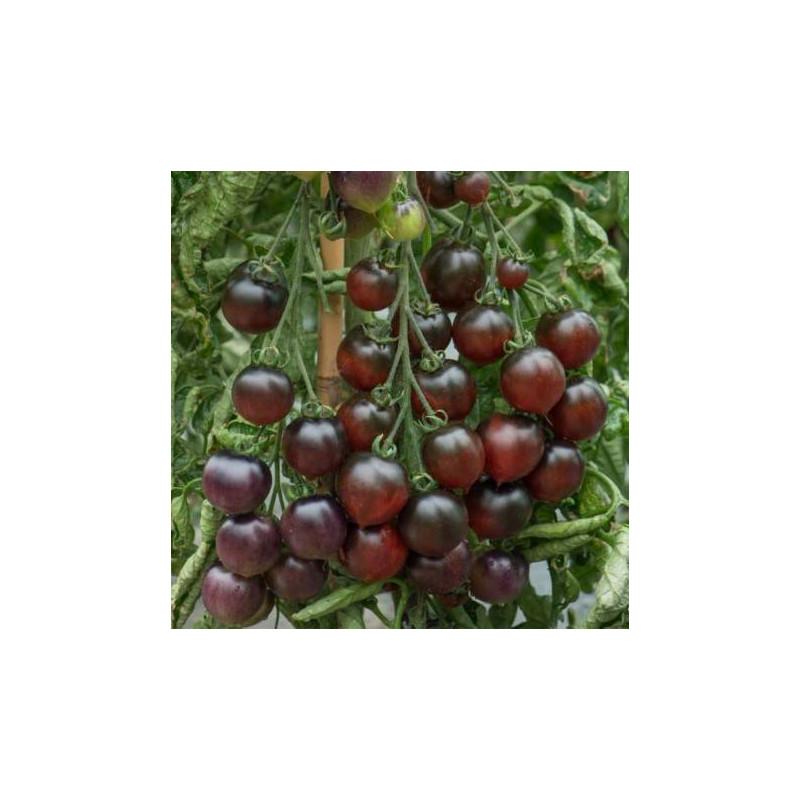 """Tomate-cerise Indigo """"Blue tears"""" sachet de 35 graines"""