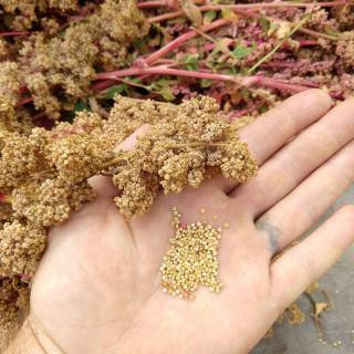 Quinoa Appelewa sachet de 3 grammes- Kokopelli