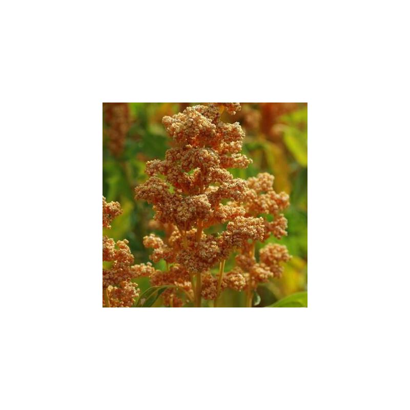 Quinoa Oro de Valle sachet de 3 grammes- Kokopelli