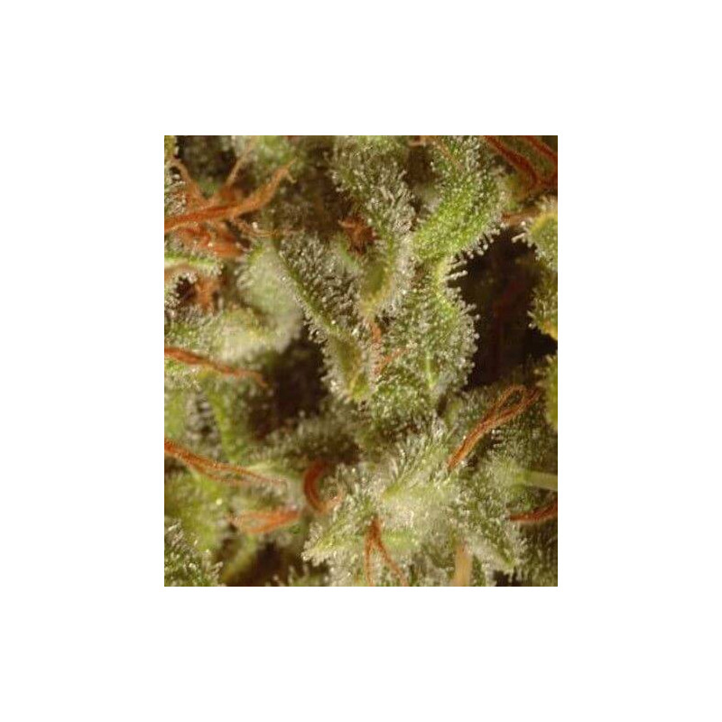 Collection pack X6 Sativa Paradise Seeds