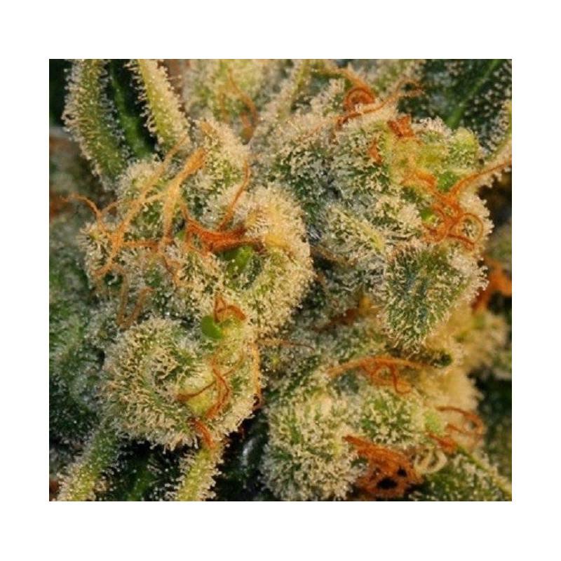 Bubblegum Auto - T.H Seeds